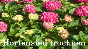 Hortensien trocknen Flora-Shop