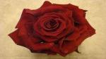 Die perfekte Rose selber machen von flora-shop.eu